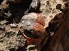 brachiopod-fossil