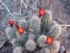 hedgehog-cactus